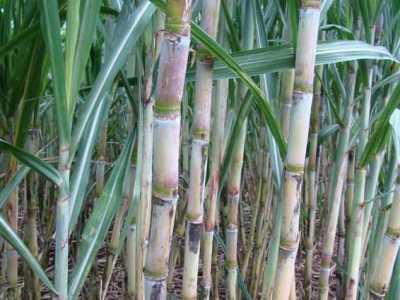 水果甘蔗的管理经验 甘蔗正确的施肥方法